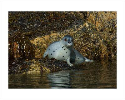 Seal Surprise