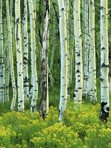 Aspen and Goldenrod, Uinta-Wasatch-Cache National Forest, Utah, USA by Charles Gurche