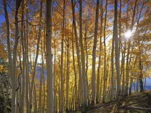 Aspen Grove, Gunnison National Forest, Colorado, USA by Charles Gurche