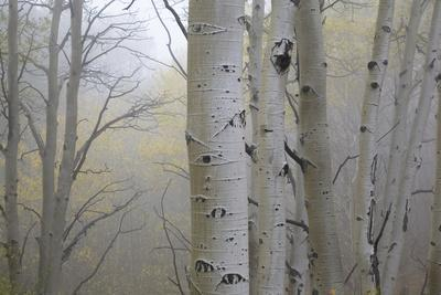 Aspen Trees, Dixie National Forest Boulder Mountain, Utah, USA