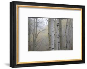 Aspen Trees, Dixie National Forest Boulder Mountain, Utah, USA by Charles Gurche