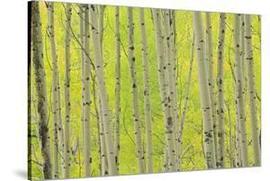 Aspen Trees, White River National Forest Colorado, USA by Charles Gurche