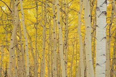 Aspens in Gunnison National Forest Colorado, USA