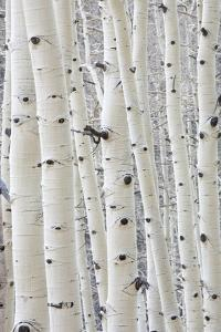 Aspens in Gunnison National Forest Colorado, USA by Charles Gurche
