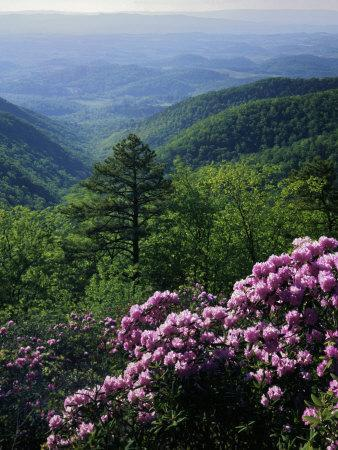 Blue Ridge Mountains Catawba Rhododendron, Blue Ridge Parkway, Virginia, USA