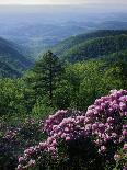 Blue Ridge Mountains Catawba Rhododendron, Blue Ridge Parkway, Virginia, USA-Charles Gurche-Photographic Print