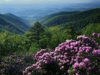 Blue Ridge Mountains Catawba Rhododendron, Blue Ridge Parkway, Virginia, USA