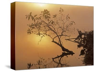 Buttonbush at dawn, Lake of the Ozarks, Missouri, USA
