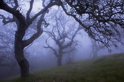 California Black Oaks, Evening, Mt Diablo State Park, California, USA by Charles Gurche