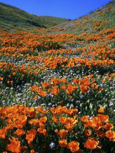 California Poppies and Globe Gilia, Tehachapi Mountains, California, USA by Charles Gurche