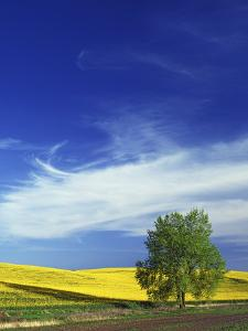 Cottonwood and Canola fields, Whitman County, Washington, USA by Charles Gurche