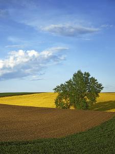 Cottonwood and Palouse Fields, Whitman County, Washington, USA by Charles Gurche