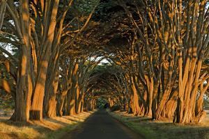Cypress Trees, Point Reyes National Seashore, California, USA by Charles Gurche