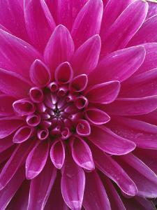 Dahlia Blossom, Manito Park, Spokane, Washington, USA by Charles Gurche
