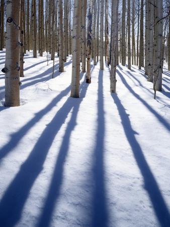 Dixie National Forest Aspen, Utah, USA by Charles Gurche