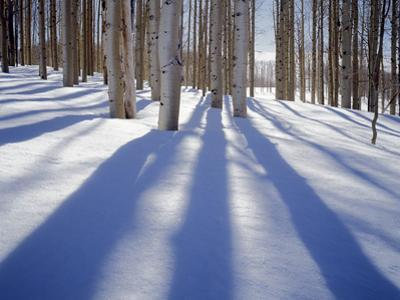 Dixie National Forest Aspens in Winter, Utah, USA by Charles Gurche