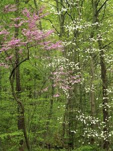 Eastern Redbud and Flowering Dogwood, Arlington County, Virginia, USA by Charles Gurche