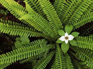 Fern and Bunchberry, Gifford Pinchot National Forest, Washington, USA by Charles Gurche