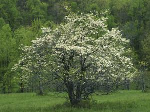 Flowering Dogwood, Blue Ridge Parkway, Virginia, USA by Charles Gurche