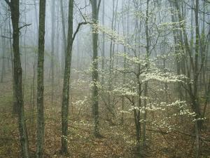 Flowering Dogwood in foggy forest, Appalachian Trail, Shenandoah National Park, Virginia, USA by Charles Gurche
