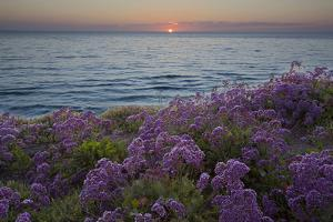 Flowers at Sunset, Del Mar Coast California, USA by Charles Gurche