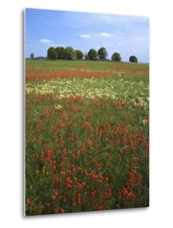 Indian Paintbrush meadow, Taberville Prairie Natural Area, Missouri, USA