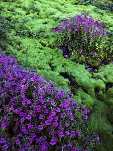 Lewis Monkeyflower, Mt. Rainier National Parks, Washington, USA by Charles Gurche