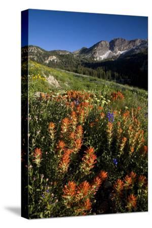 Meadow Wildflowers, Little Cottonwood Canyon, Albion Basin, Utah, USA