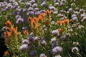 Meadow Wildflowers (Monardella Odoratissima), Albion Basin, Utah, USA by Charles Gurche