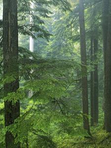 Old growth forest, Mt. Rainier National Park, Washington, USA by Charles Gurche