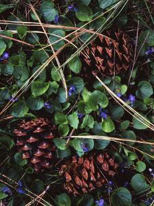 Ponderosa Pine cones and Blue Violets, Washington, USA by Charles Gurche