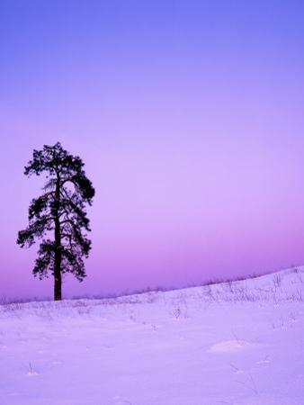 Ponderosa Pines at dusk, Riverside Hills, Spokane County, Washington, USA by Charles Gurche