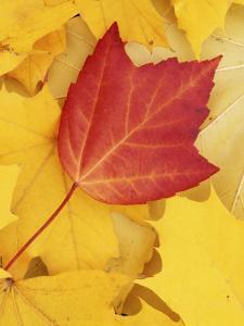 Red and Sugar Maple leaves, Finch Arboretum, Washington, USA by Charles Gurche