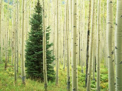 Silver FIr in Aspen Grove, White River National Forest, Colorado, USA