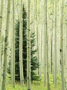 Silver FIr in Aspen Grove, White River National Forest, Colorado, USA by Charles Gurche