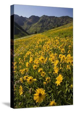 Sunflowers Meadow, Little Cottonwood Canyon, Albion Basin, Utah, USA