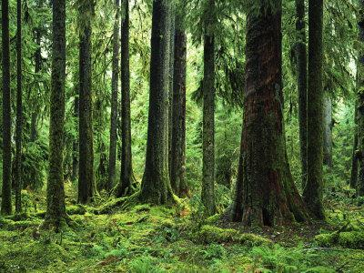Virgin Sitka Spruce, Hoh Rain Forest, Olympic National Forest, Washington, USA