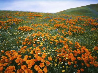Wildflowers, Tehachapi Mountains, California, USA by Charles Gurche