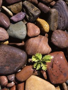 Yarrow and stones, Clark Fork River, Montana, USA by Charles Gurche