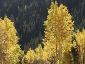 A Stand of Autumn Colored Aspen Trees Intermingled with Evergreens by Charles Kogod