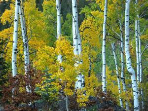 Beautiful Aspen Grove in Autumn, Aspen, Colorado by Charles Kogod