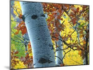 Brilliant Colors Make Up the Leaves in This Grove of Aspen Trees by Charles Kogod