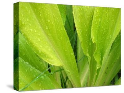 Morning Dew on Lovely Green Plants, White River National Forest
