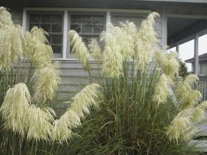 Pampas Grass Growing Outside a Hilton Head Beach House by Charles Kogod