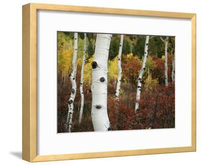The White Bark of Autumn Colored Aspen Trees