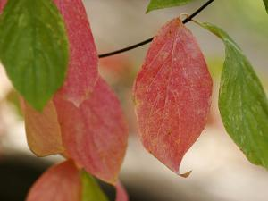 Tree Leaves Display Autumn Color Change by Charles Kogod