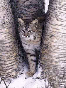 Bobcat in the snow in Montana by Charles Krebs