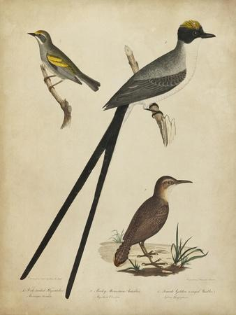 Bonapart Birds III