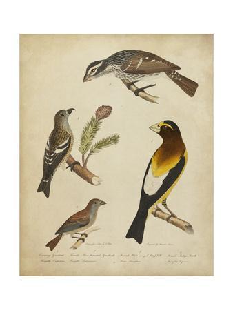 Bonapart Birds IV