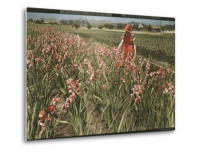 Cultivated Gladiolus in Santa Cruz, California